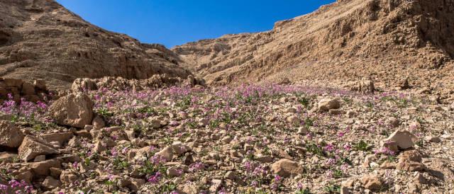 Desert Bloom Season in Israel - Best Season