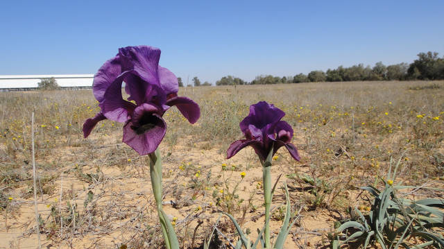 Negev Iris in Bloom in Israel - Best Season
