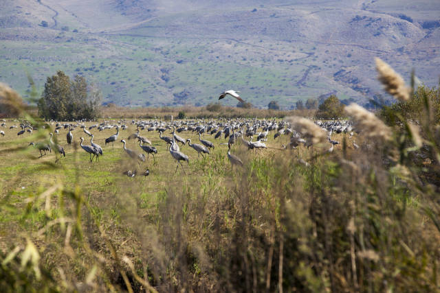 Cranes resting in the Hula Valley National Park