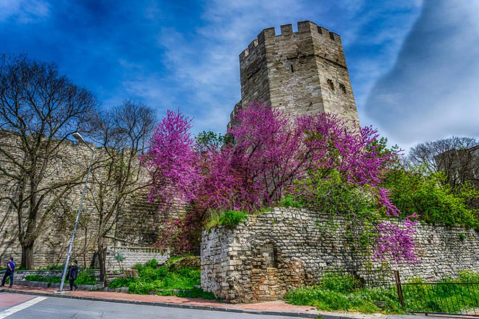Judas Tree in Bloom in Istanbul - Best Season
