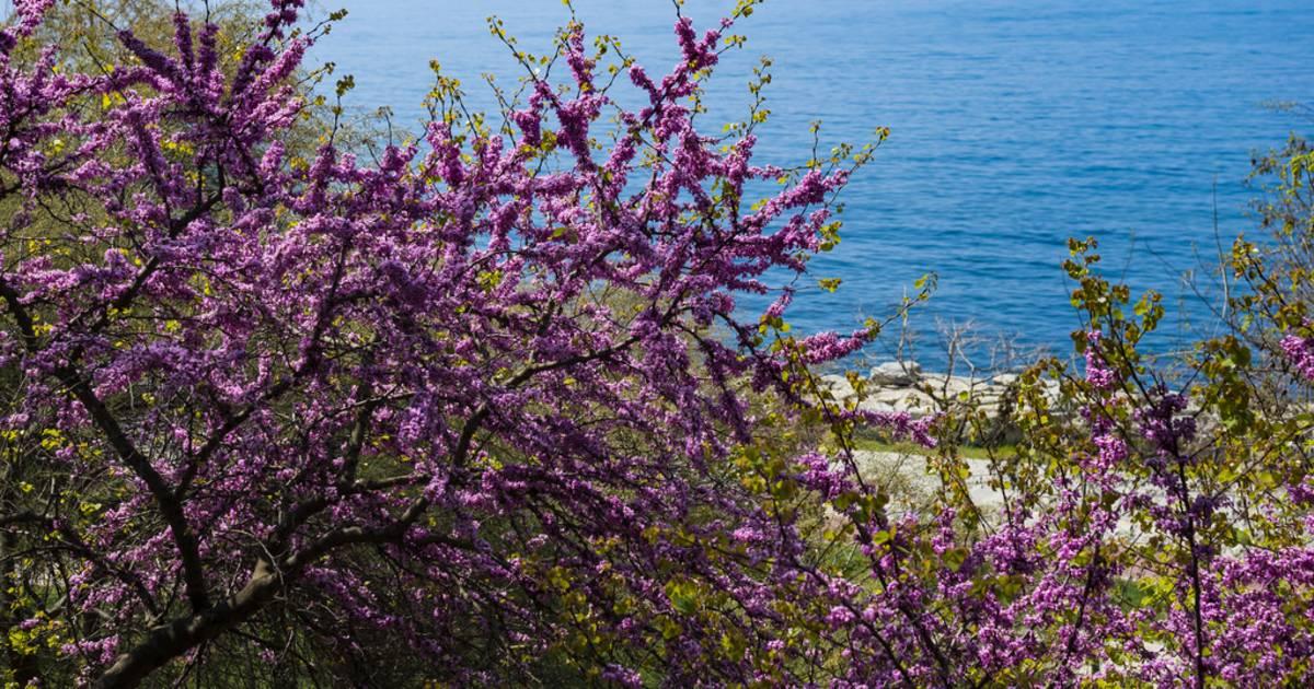 Judas Tree in Bloom in Istanbul - Best Time