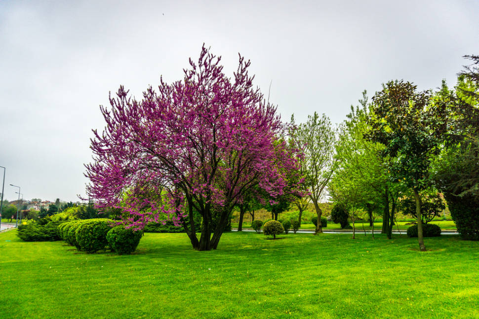 Best time for Judas Tree in Bloom in Istanbul
