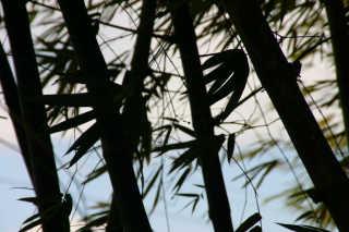 Holland Bamboo Avenue, St. Elizabeth