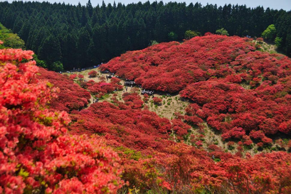 Azaleas in Japan - Best Time