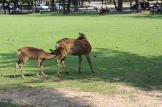 Baby Deer at Nara Park