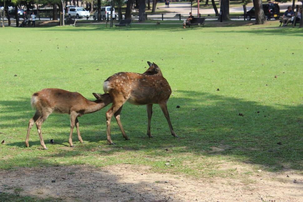 Baby Deer at Nara Park in Japan - Best Time