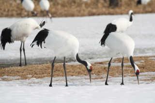 Cranes of Kushiro Marshlands (Winter Feeding Sites)