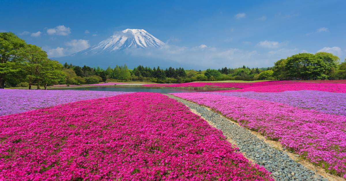 Fuji Shibazakura in Japan - Best Time