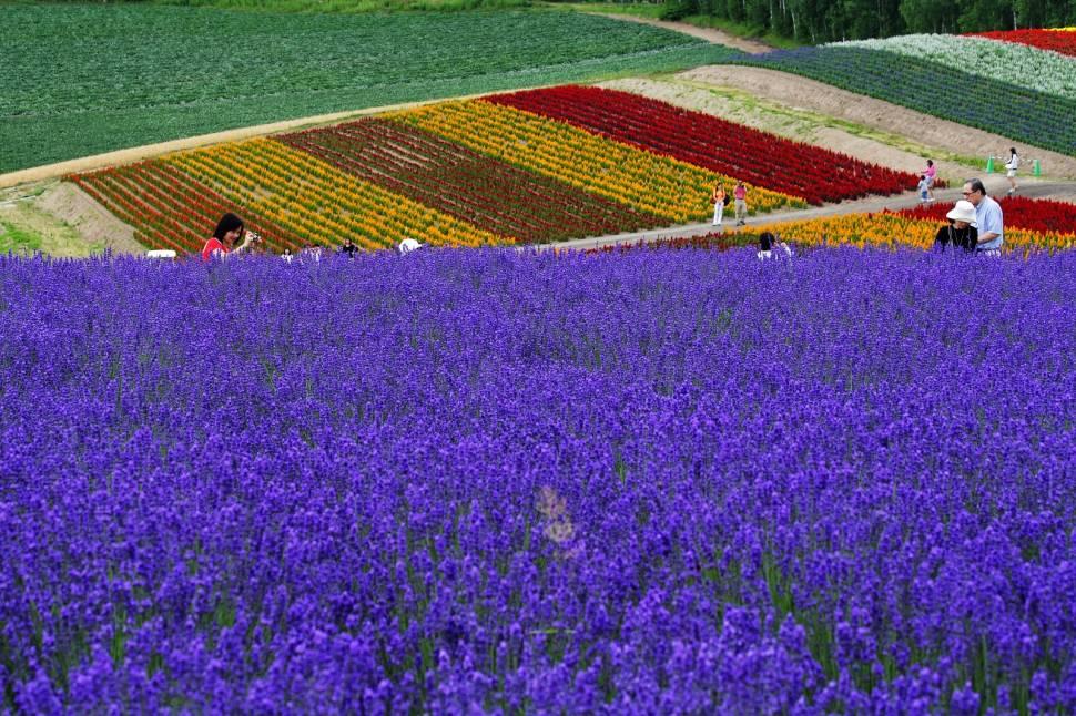 Best time for Lavender in Japan
