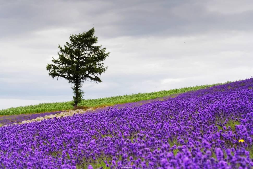 Lavender in Japan - Best Season