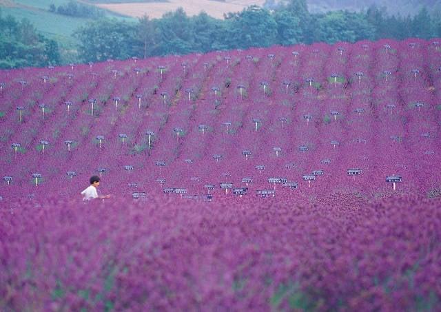 Lavender in Japan - Best Time