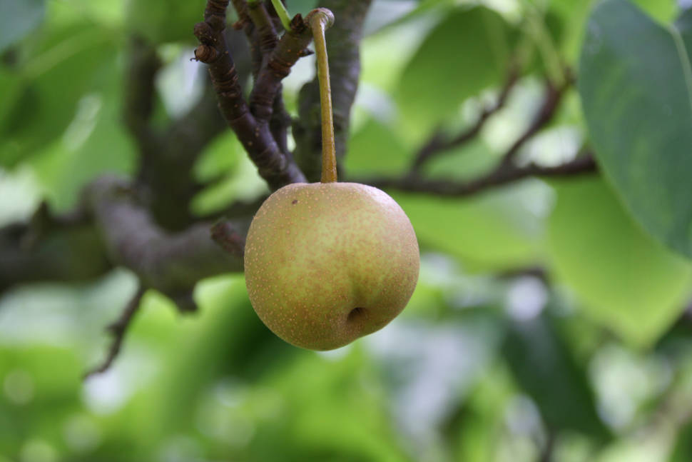 Nashi Pears in Japan - Best Season