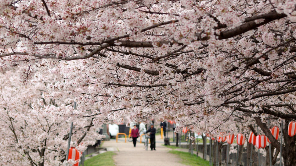 Cherry Blossoms in Japan - Best Season