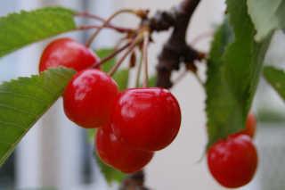Satonishiki Cherries