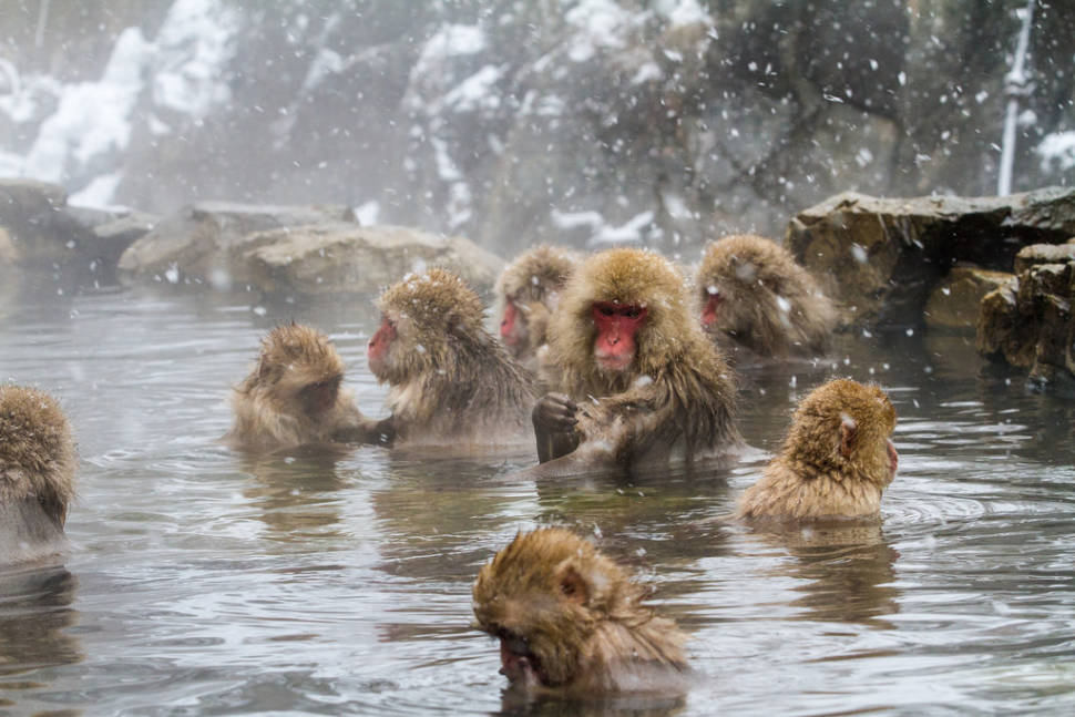 "Japanese macaques or ""Snow Monkeys"" at Kambayashi Onsen"