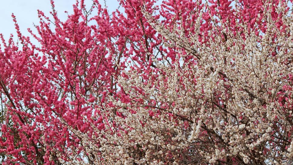 Ume Blossom in Japan - Best Season