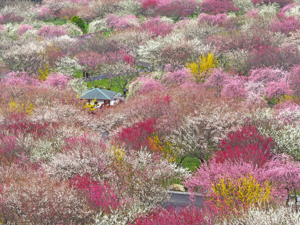 Best time for Ume Blossom in Japan