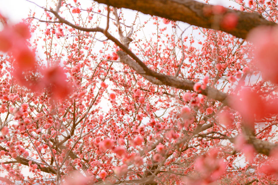 Ume Blossom in Japan - Best Time