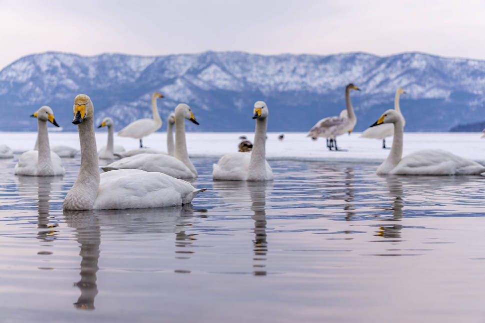 Best time to see Whooper Swans at Lake Kussharo in Japan