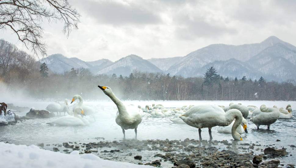 Whooper Swans at Lake Kussharo in Japan - Best Season