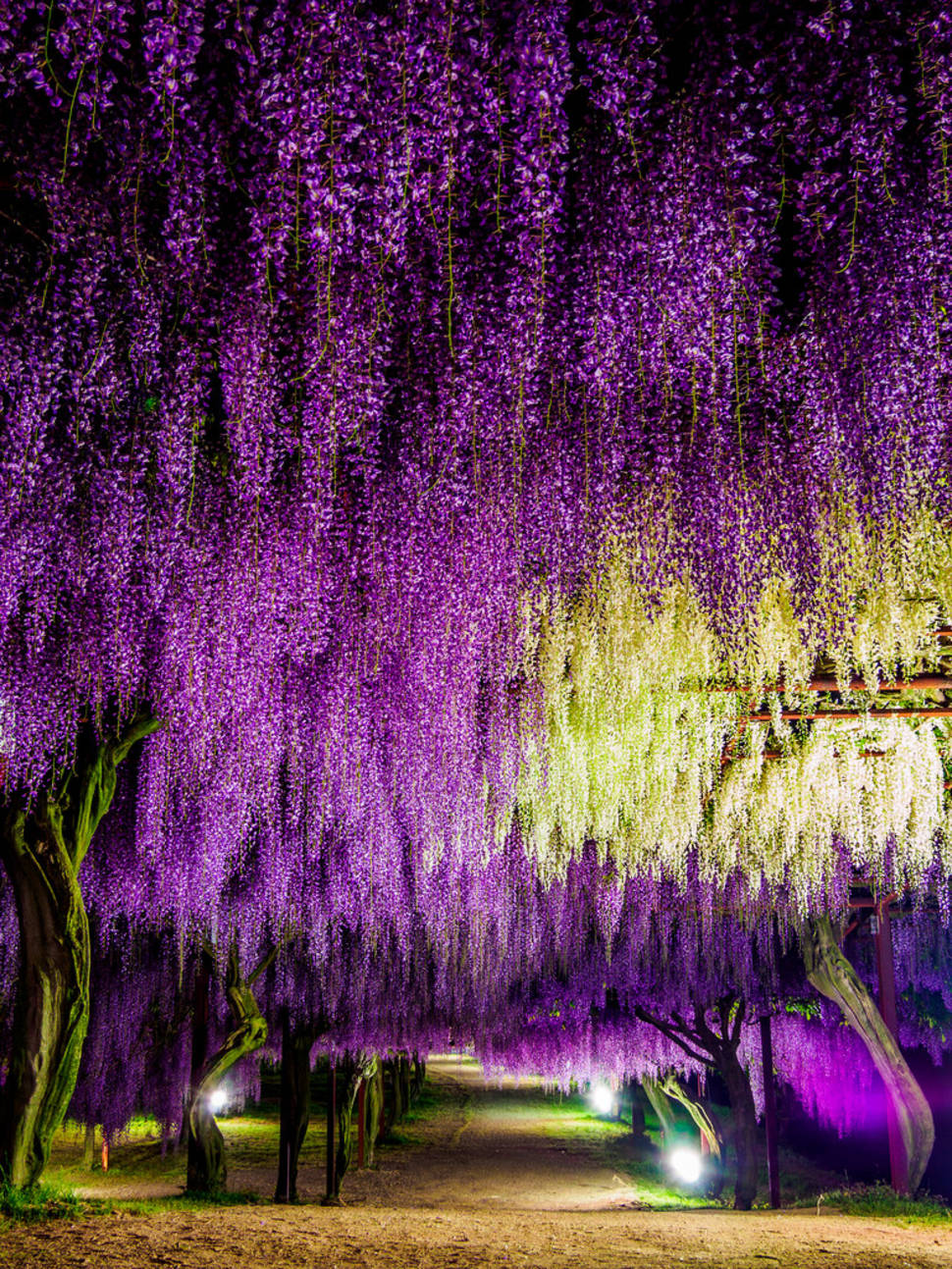 Best time to see Wisteria Tunnels in Japan