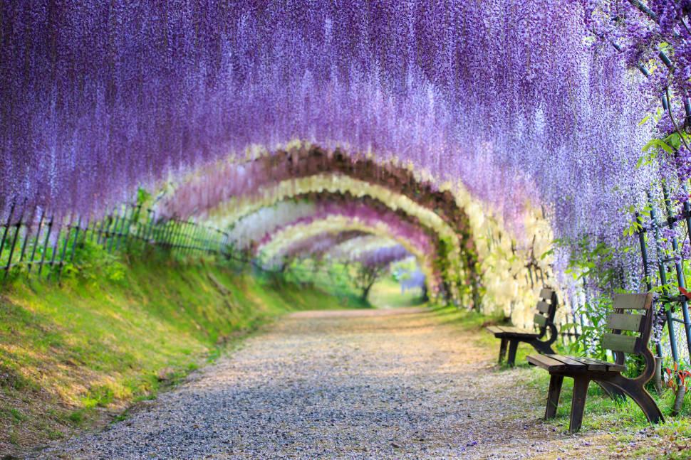Wisteria Tunnels in Japan - Best Season