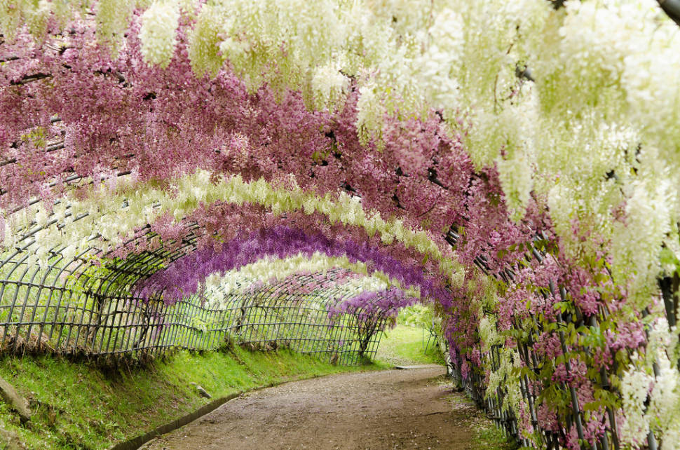 Wisteria Tunnels in Japan - Best Time
