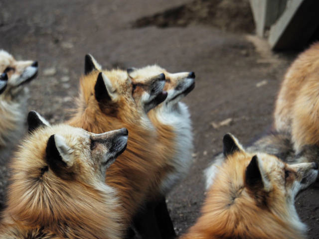 Best time for Zao Fox Village in Japan
