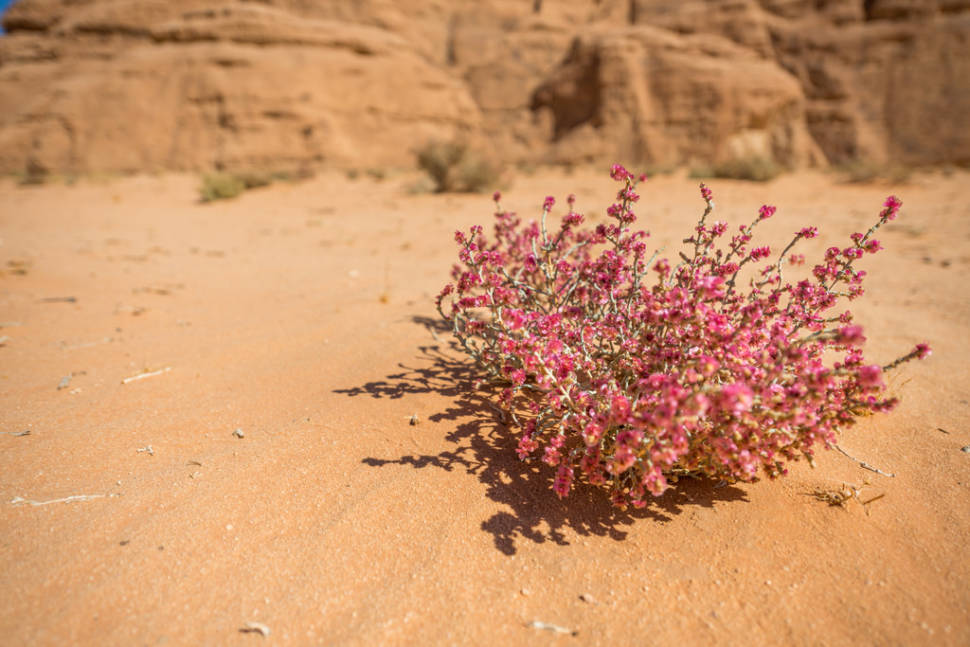 Best time to see Wadi Rum Desert in Bloom in Jordan