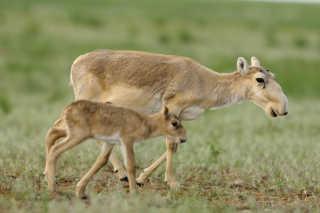 Saiga Antelopes