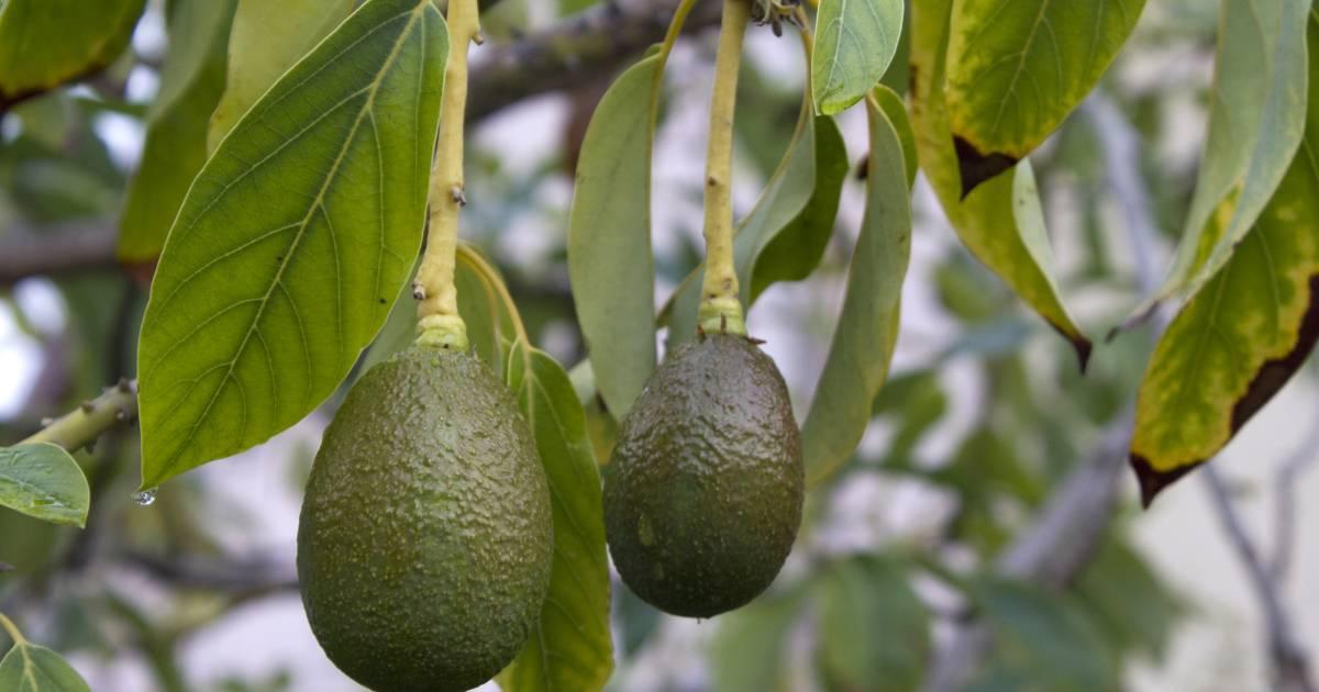 Avocado Season in Kenya - Best Time