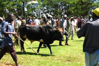 Bull Fighting Events