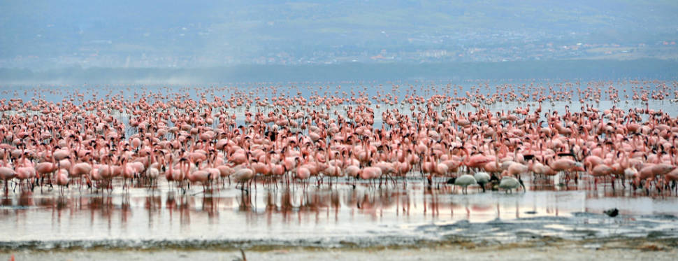 Over 1 million flamingoes in the park literally turn the shores of Lake Nakuru