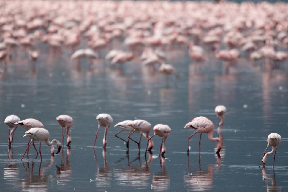 Flamingos on the Rift Valley Lakes in Kenya - Best Season