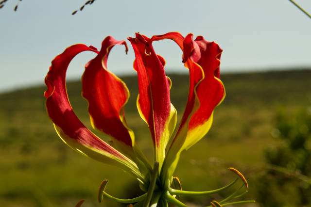 Gloriosa Lily in Kenya - Best Season