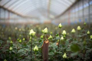 Naivasha Flower Farm