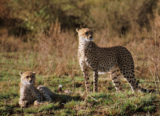 Cheetah mom and a cub
