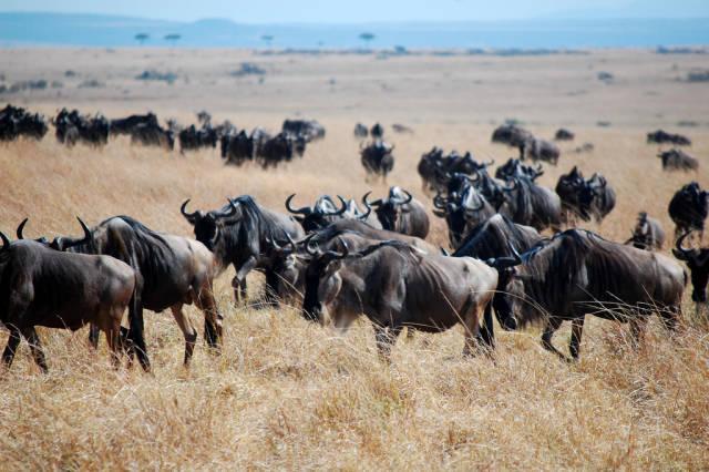 Wildebeest Migration in Kenya - Best Season
