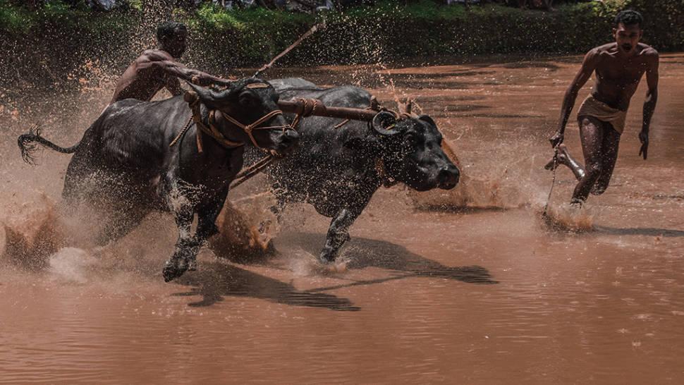 Bull Surfing in Kerala - Best Time