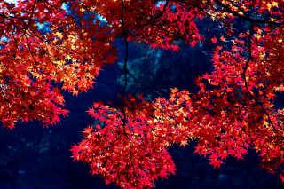Autumn Foliage (Kōyō)