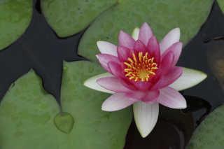 Water Lilies Season