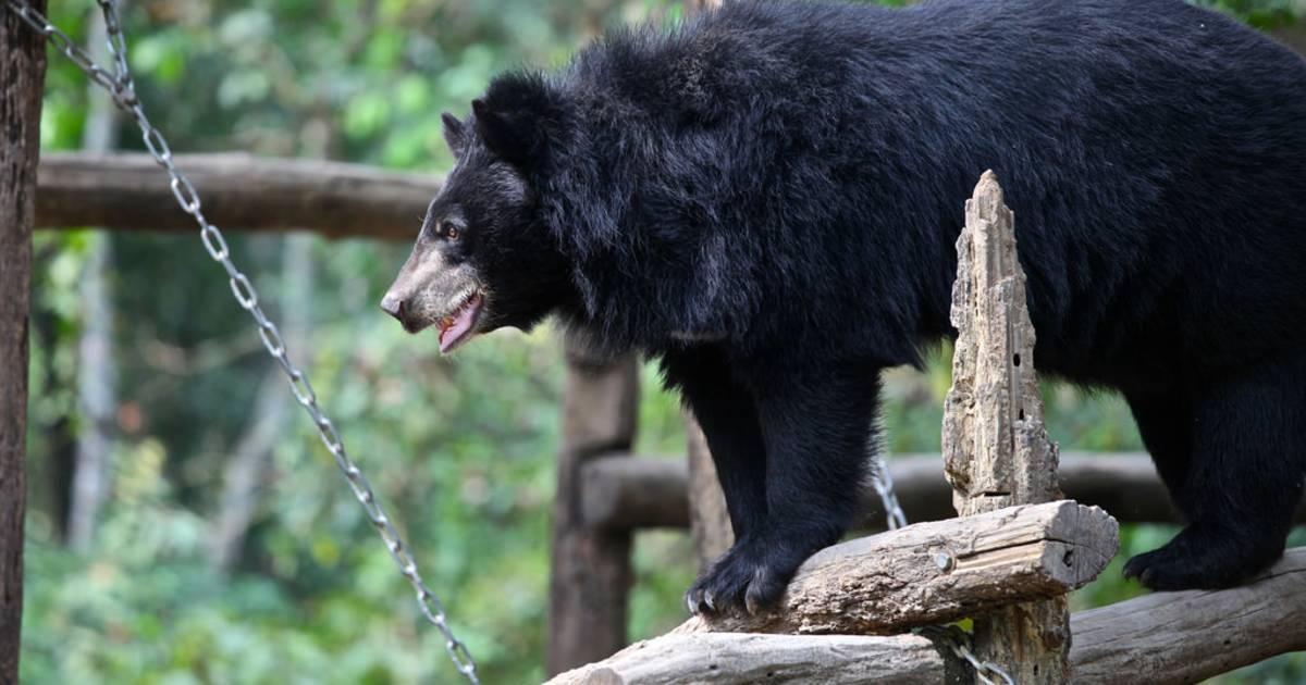 Asian Black Bear in Laos - Best Time
