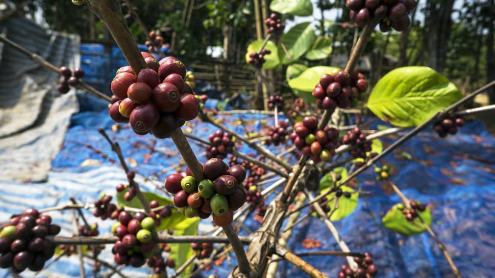Coffee Harvest in Laos - Best Season