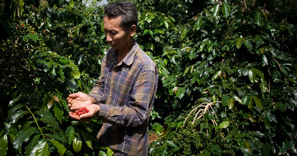 Coffee Harvest in Laos - Best Time