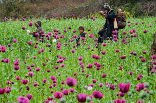 Opium Flowers