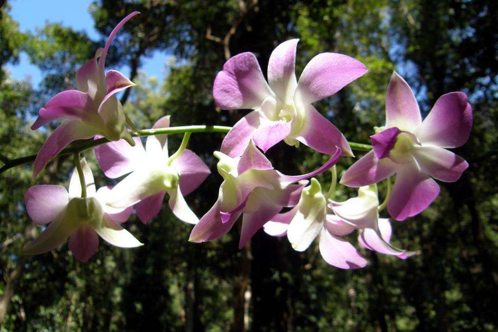 Orchids in Laos - Best Season