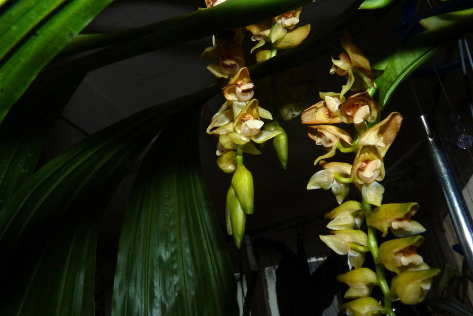 Orchids in Laos - Best Time