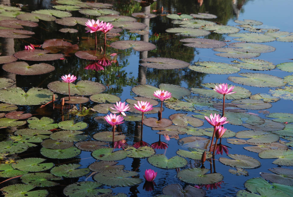 Water Lily in Laos - Best Season