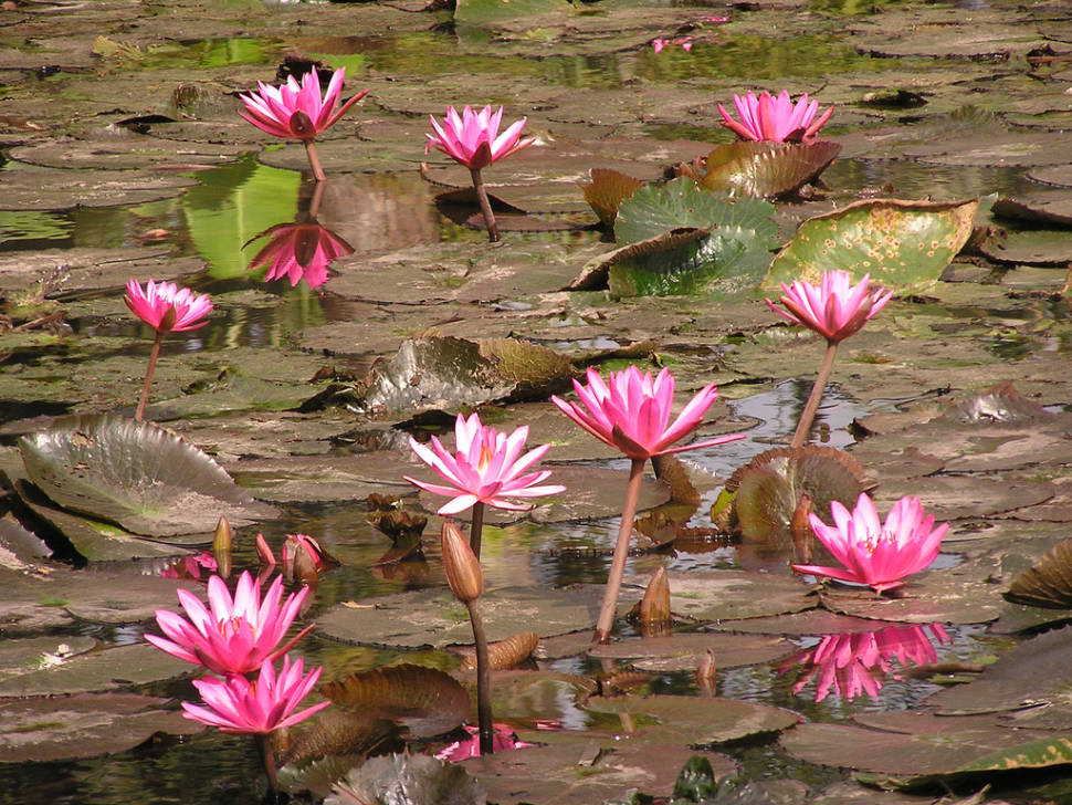 Best time for Water Lily in Laos