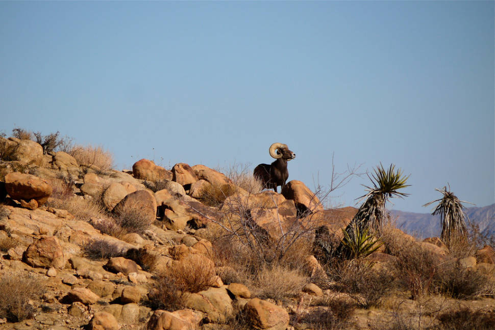 Big Horn Sheep in Los Angeles - Best Season